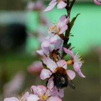 Пчёлка :: Сергей Черепанов