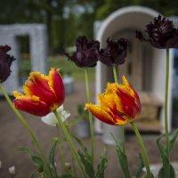 Тюльпаны :: Сергей Вахов