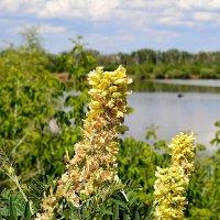 Растение возле реки :: Александр Облещенко