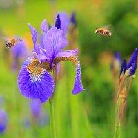 Ирис и пчелки. :: Юрий
