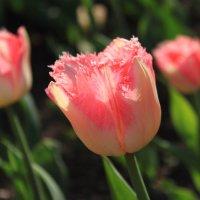 Тюльпаны :: Михаил Лесин