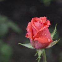 Роза :: Наталья Петрова