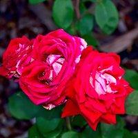 Роза :: ViP_ Photographer