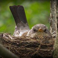 Гнездо дроздов (- Иди ка, ты фотограф, своей дорогой...) :: Сергей В. Комаров