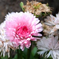 После холода и дождей/ Остался один цветок/ Он больше всех любит жизнь! :: Фотогруппа Весна.