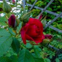 На даче. (Роза у соседа). :: Sergey Serebrykov