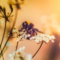 пчела :: Анна Брацукова