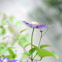 Фиолетовый климатис :: Николай Малявко