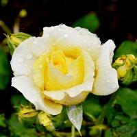 Роза после грозы :: Александр Максименко