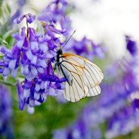 Бабочка :: Александр Максименко