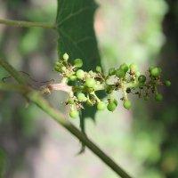 Молодой виноград. :: Nota Bene