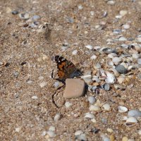 Бабочка на пляже :: Ольга Ходус