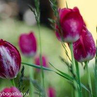 Тюльпаны :: Alexey Bogatkin