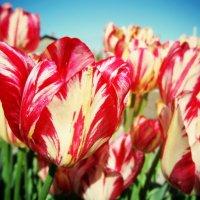 Тюльпаны :: Наталья Сысалетина