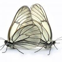 Бабочки :: galidob
