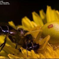 Паук цветочный (Желтый паук-бокоход) - Misumena vatia :: Игорь Дементьев