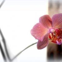 Orchid grandmother Shura! :: A. SMIRNOV