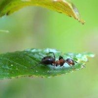 Грустный муравей :: Галина Кан