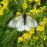 butterfly :: Оксана Коробова