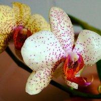 Не дикая орхидея. :) :: Андрей