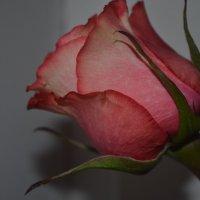 Запах розы)))) :: Юля