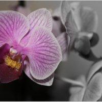 Орхидея :: Елена Севастьянова