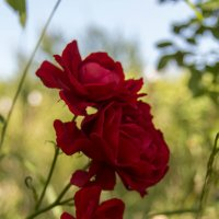 Розы :: Vorel Moldovanu