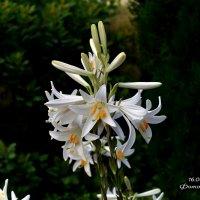 Цветы белые :: Анатолий