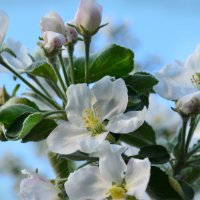 Яблоня цветет :: Татьяна Наймушина