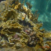 Кораллы Красного моря :: Инна Белякова