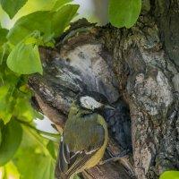 большая синица у гнезда :: Соня Орешковая (Евгения Муравская)