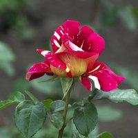 Просто роза :: Владимир Богославцев(ua6hvk)