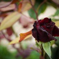 Черная роза :: Anna Dubikovskaya