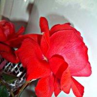красные розы :: Татьяна Королёва