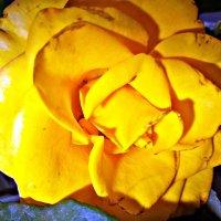 жёлтая роза :: Татьяна Королёва