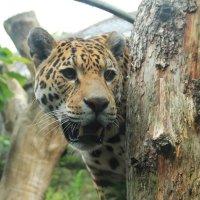 улыбка леопарда :: Лидия Юсупова