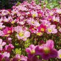 Цветущий мох :: Оксана Коробова