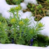 цветы и снег :: Галина Куля