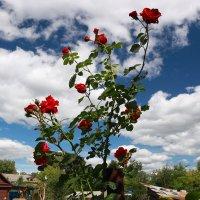 Розы и небо :: александр пеньков