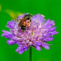 Пчёлка с двумя мешками собранной пыльцы. :: Анатолий Клепешнёв