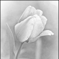 Тюльпан :: Анастасия Анастасия
