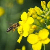 Пчелка-медонос :: Владимир Рябцев