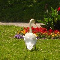 лебедь :: Андрей Кураков