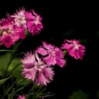 гвоздика цветет :: gribushko грибушко Николай