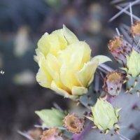 ღцветение кактусаღ :: Oлеся А
