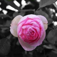 Роза :: Алёнка Шапран