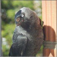 галка на стене :: linnud