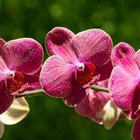 орхидея :: Pavlusha *