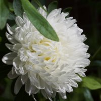 Белый цветок :: валерия