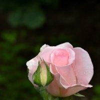 Кремовая роза :: Raisa Ivanova